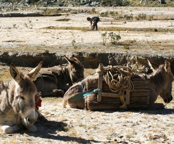 Burros and Gaucho, Ischinca Valley, Peru