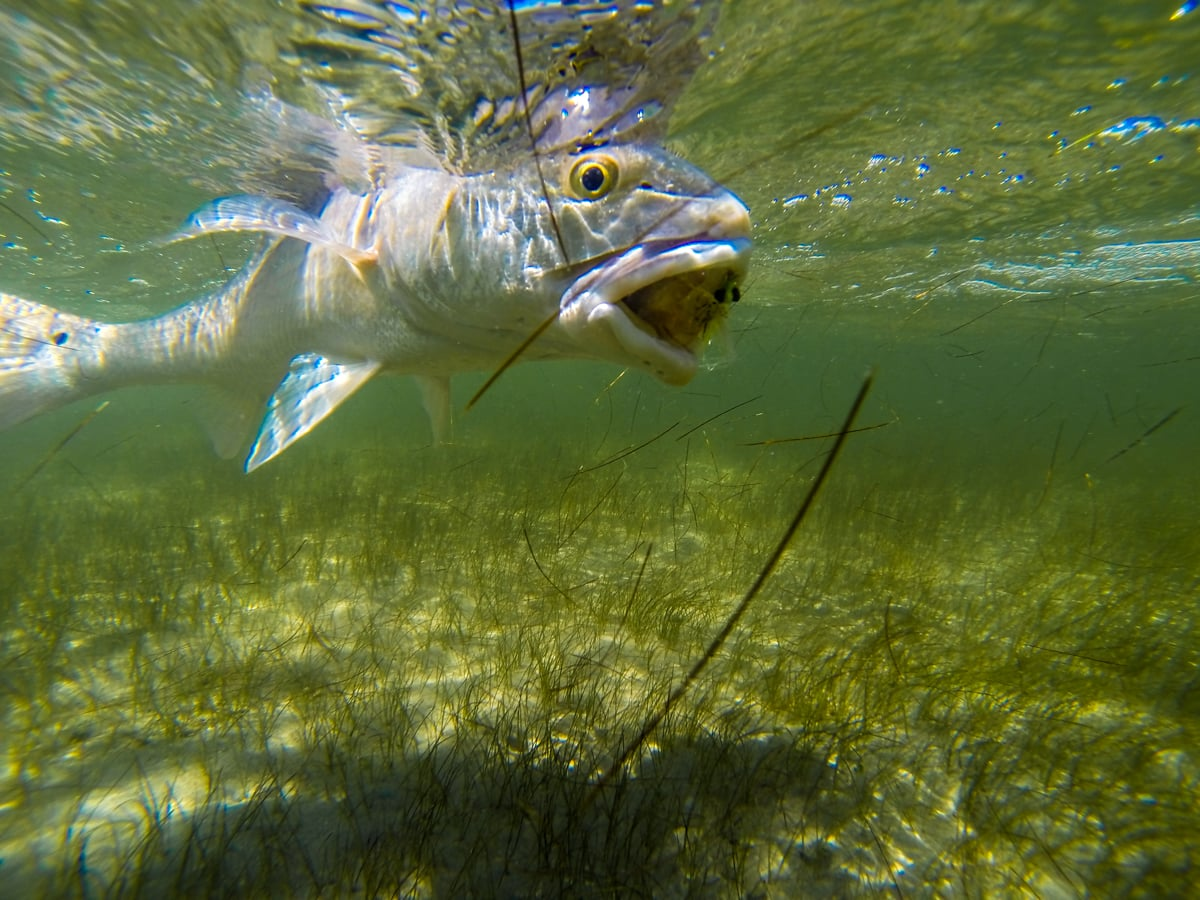 A red sucking on a clouser, Texas style